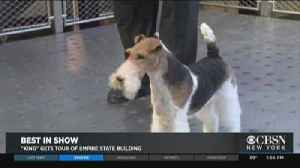 Wire Fox Terrier Named 'Best In Show' [Video]