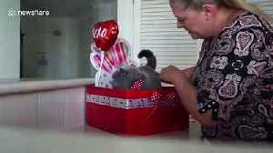 How to wrap your cat for Valentine's Day [Video]