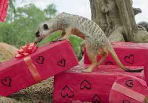 Australia Zoo Animals Get Loved Up for Valentine's Day [Video]