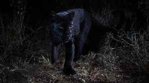 First Photos Taken of an African Black Panther in 100 Years Using Remote Cameras [Video]