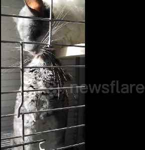 Chinchillas kiss each other to mark Valentine's Day [Video]