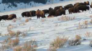 Beautiful Bison Migration in Wyoming [Video]