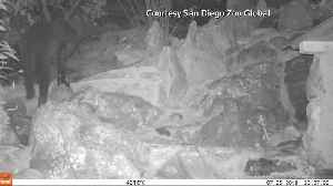Rare black leopards seen on remote camera footage [Video]
