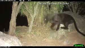 The elusive black panther is spotted in Kenya [Video]