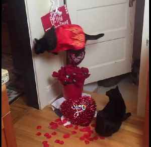 Cat Jumps Over Roses To Celebrate Valentine's Day [Video]