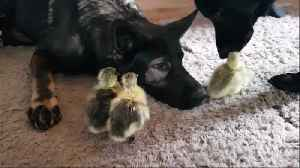 German Shepherds preciously watch over cute geese chicks [Video]