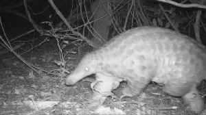 Elusive giant pangolins captured on video in Uganda [Video]