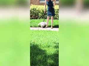 Dog Never wants Walk to End! [Video]