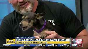 Pet of the week: Diamond loves receiving belly rubs [Video]