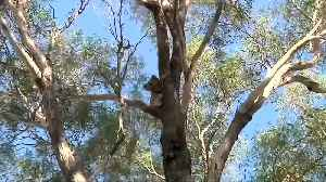 Australian leaders warned: act now to save koalas [Video]