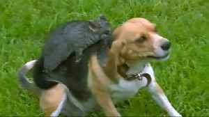 Beagle 'adopts' possum after losing her puppies [Video]