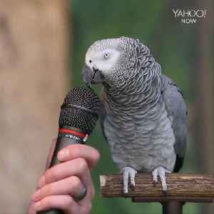 This parrot can do incredible impressions [Video]