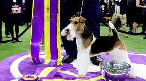 King the wire fox terrier named best in show [Video]