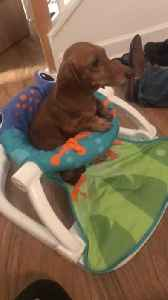 Dachshund Sits in Baby's Play Chair [Video]