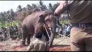 India's most loved rogue elephant Chinna Thambi is finally captured [Video]