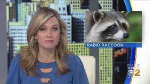 Health Dept.: Rabid Raccoon Discovered In Green Tree Borough [Video]