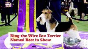 The Best In Show From Westminster Is 'King' [Video]