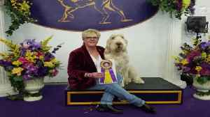 Zoli the Spinoni, Best of Breed [Video]