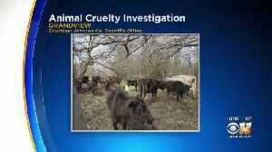 Cows Getting Medical Treatment In Grandview After Being Neglected [Video]