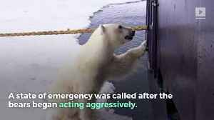 Polar Bear Invasion Causes State of Emergency in Russia [Video]