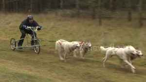 Excited huskies mush around Suffolk forest in dog-racing championship [Video]