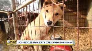 Dogs rescued from canine meat farm in South Korea coming to Michigan [Video]