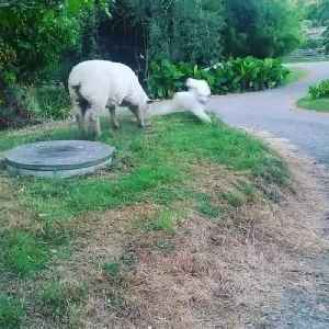 Dog and Rescued Sheep Become Best Friends [Video]