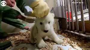 WEB EXTRA: Polar Bear Medical Exam [Video]