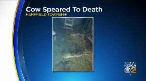 Cow Speared To Death In Westmoreland County [Video]