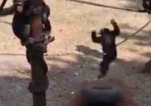 Rescued Chimpanzee Finds a New Way to Flip During Playtime [Video]