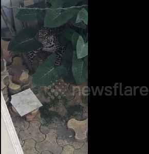 Resident terrified after finding leopard hiding in neighbour's courtyard [Video]