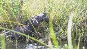 Clash of the Titans! Huge alligator battles with 16-foot python [Video]