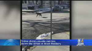Injured Coyote Spotted Wandering West Roxbury Streets [Video]