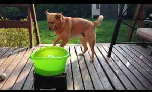 Dog Excitedly Plays Fetch with Ball Throwing Machine [Video]