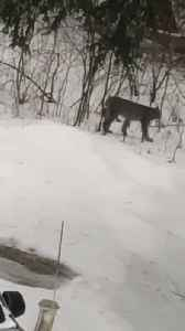 Possibly Lynx captured on camera in Michigan [Video]