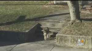 Injured Coyote In West Roxbury Has Been Tracked By Wildlife Officials [Video]