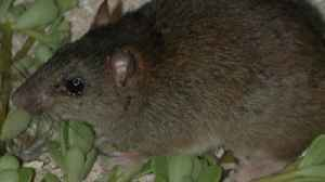 Mammal Goes Extinct from Climate Change for First Time Ever [Video]