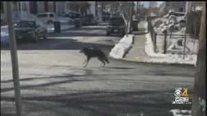 Injured Coyote Spotted In West Roxbury [Video]