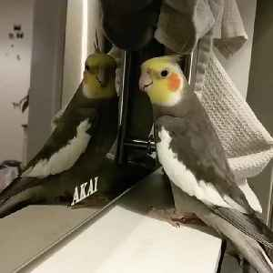 Cockatiel Bird Sings Beautiful Tune While Looking at Their Reflection [Video]