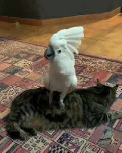 Cockatoo hilariously barks while standing on cat [Video]
