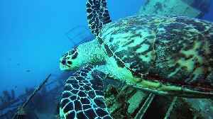 Critically endangered sea turtle cruises over wreck of Russian warship [Video]