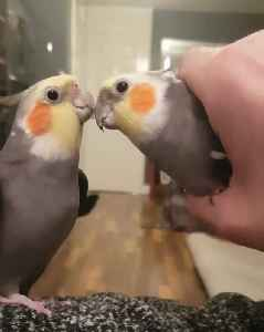 Father And Son Cockatiel Will Melt Your Heart! [Video]