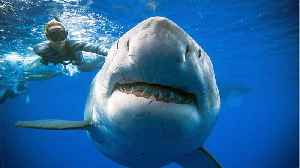 Great White Sharks ... Why They're So Indestructible [Video]
