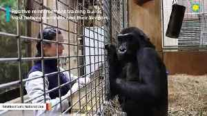 Watch Zookeeper's Adorable Interaction With Gorilla [Video]