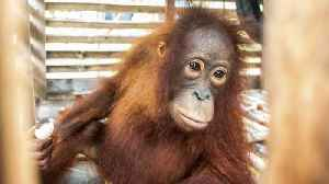 Baby Orangutan Rescued From Small Crate After Four Years In Illegal Captivity [Video]