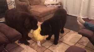 Two Newfoundlands engage in precious tug-of-war [Video]