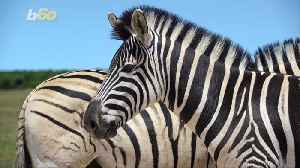Why Do Zebras Have Stripes? Scientists Dressed Up Horses Likes Zebras to Find Out [Video]