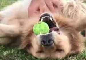 Game, Set and Scratch: Golden Retriever Can't Let Go of Tennis Ball During Blissful Belly Rub [Video]