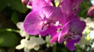 Singapore inspires the 17th annual Orchid Show in NY [Video]