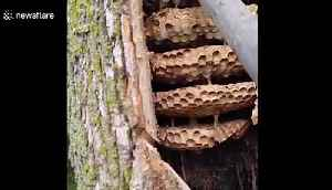 Hornets vacuumed out of HUGE nest found in tree trunk [Video]